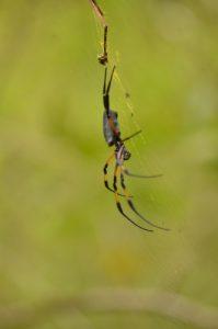 Néphile dorée (Nephila inaurata ou nigra)<br> Le Grand Etang<br> Île de la Réunion