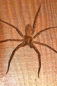 Bibe ou Babouc (Heteropoda venatoria), espèce chasseuse nocturne<br> Île de la Réunion