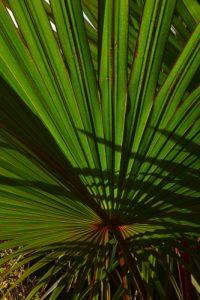 Le Latanier rouge (Latania lontaroides)<br> Plage de Grand-Anse<br> Île de la Réunion