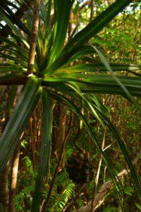 Le Petit Vacoa (Pandanus sylvestris) de la forêt primitive semi-sèche<br> Le Piton de Mont-Vert, cratère volcanique de 30 mille ans<br> Île de la Réunion