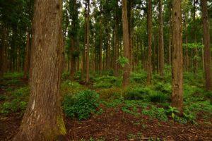 Le Cryptoméria du Japon ou Cèdre du Japon (Cryptomeria japonica)<br> La Forêt de La Petite Plainebr&gt; Parc National de la Réunion