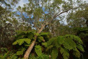 La Forêt primitive de Bélouve<br> Parc National de la Réunion