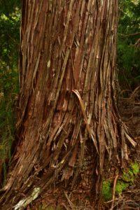 Tronc du Tamarin des Hauts (Acacia heterophylla).<br> La Forêt primaire de Bélouve<br>Île de la Réunion