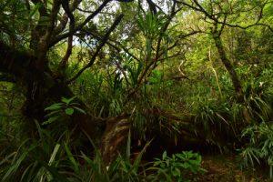 La Reine des Tamarins (Acacia heterophylla) couchée par un cyclone<br> La Forêt primitive de Bélouve<br> Parc National de la Réunion