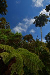 La Forêt de Bélouve à la cascade Trou de Fer<br>Île de la Réunion