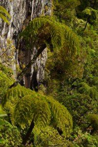 Fougères arborescentes ou Fanjan (Cyathea glauca) au Trou de Fer<br> La Forêt primitive de Bélouve<br> Parc National de la Réunion