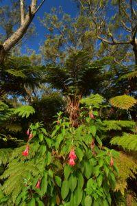 """Fuchsia de Magellan ou """"Ti zanneau"""" (Fuchsia magellanica) est une peste végétale envahissante.<br> La Forêt primitive de Bélouve<br> Parc National de la Réunion"""