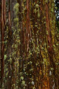 Le Cryptoméria du Japon ou Cèdre du Japon (Cryptomeria japonica)<br> La Forêt de La Petite Plaine<br> Parc National de la Réunion