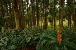 Longose à fleurs rouges (Hedychium coccineum) sous les Cèdres du Japon (Cryptomeria japonica).<br> La Forêt de Sans-Souci<br> Parc National de la Réunion