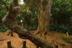 Le Roi du Bois des Nèfles est un Tamarin des Hauts (Acacia heterophylla) : Tronc = 9m, Circonférence = 3,9m et Âge > 400 ans.<br> La Forêt de Sans-Souci<br> Parc National de la Réunion