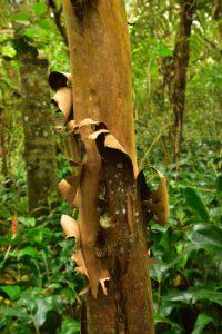 Le Change-écorce ou Goyave marron (Aphloia Theiformis) aux vertues médicinale contre la fièvre et comme diurétique<br> La Forêt de Sans-Souci<br> Parc National de la Réunion