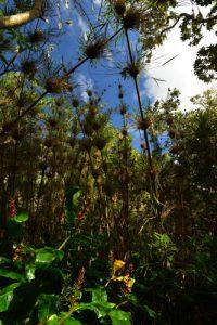 Le Calumet ou Bambou de la Réunion, (Nastus borbonicus).<br> La Forêt de Sans-Souci<br> Parc National de la Réunion