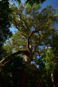 Le Roi du Bois des Nèfles est un Tamarin des Hauts (Acacia heterophylla) dont le tronc est de 9m, la circonférence de 3,9m et l'âge de plus de 400 ans.<br> La Forêt de Sans-Souci<br> Parc National de la Réunion