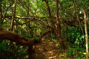 La Forêt de Sans-Souci<br> Parc National de la Réunion