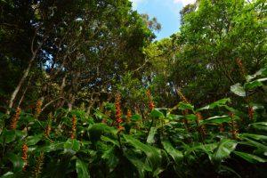 Longose à fleurs rouges (Hedychium coccineum)<br> La Forêt de Sans-Souci<br> Parc National de la Réunion