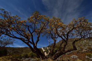 Le petit tamarin des Hauts (Sophora denudata)<br> La Plaine des Remparts<br> Parc National de la Réunion