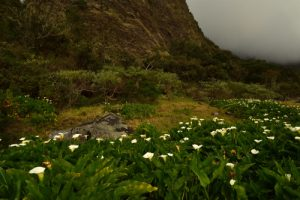 Arum d'Éthiopie ou Cornet blanc (Zantedeschia aethiopica).<br> Le Cirque de Mafate<br> Parc National de la Réunion
