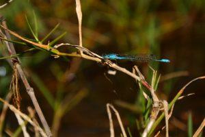 Libellule du genre Enallagma (Africallagma glaucum)<br> Les 3 Roches - Le Cirque de Mafate<br> Parc National de la Réunion
