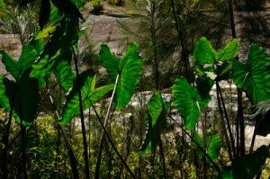 Oreilles d'éléphant ou Songe papangue (Alocasia macrorrhizos).<br> Le Cirque de Mafate au site des 3 Roches<br> Parc National de la Réunion