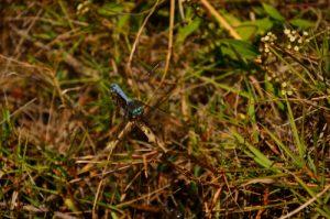 Accouplement de libellules du genre Orthétrum (Orthetrum stemmale)<br> Les 3 Roches - Le Cirque de Mafate<br> Parc National de la Réunion