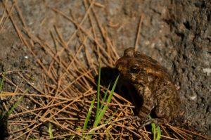Le Crapaud guttural (Amietophrynus gutturalis) est originaire d'Afrique.<br> Le Cirque de Mafate<br> Parc National de la Réunion