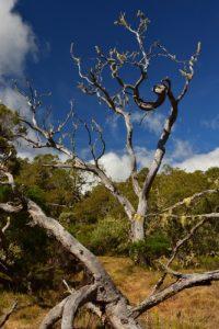 La Plaine des Tamarins couverte de Tamarins des Hauts (Acacia heterophylla).<br> Le Cirque de Mafate<br> Parc National de la Réunion