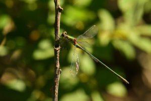 Leste vert (Lestes viridis)<br> La Réserve Nationale de Chasse et de Faune Sauvage du Lac du Der