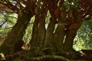 Les Houx géants (Ilex Aquifolium) du Sentier botanique de Piano Pomo<br> Parco Naturale Regionale delle Madonie<br> Île de La Sicile
