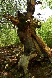 Le Chêne pubescent géant (Quercus pubescens) du Sentier botanique de Piano Pomo<br> Parco Naturale Regionale delle Madonie<br> Île de La Sicile