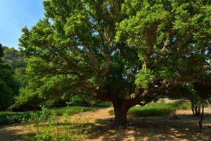 L'Érable champêtre géant (Acer campestris) du Sentier botanique de Piano Pomo<br> Parco Naturale Regionale delle Madonie<br> Île de La Sicile