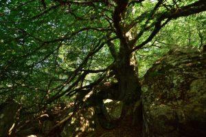 Le Hêtre commun géant (Fagus sylvatica) du Sentier botanique de Piano Pomo<br> Parco Naturale Regionale delle Madonie<br> Île de La Sicile