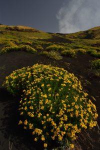 Partère de fleurs sur les flancs de l'Etna<br> Parco Dell'Etna<br> Île de La Sicile