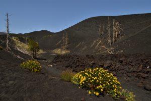 Arbres calcinés par les coulées de lave de l'éruption de 2012 à Piano Provenza<br> Parco Dell'Etna<br> Île de La Sicile