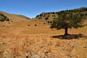 L'Érable champêtre (Acer campestris) sur les flancs du Pizzo Carbonara<br> Parco Naturale Regionale delle Madonie<br> Île de La Sicile