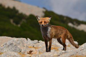 Le Renard roux (Vulpes vulpes) au sommet du Pizzo Carbonara<br> Parco Naturale Regionale delle Madonie<br> Île de La Sicile
