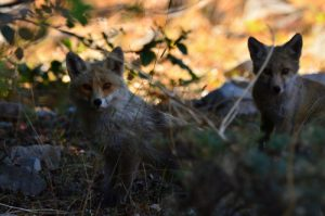 Le Renard roux (Vulpes vulpes) au Pizzo Carbonara<br> Parco Naturale Regionale delle Madonie<br> Île de La Sicile