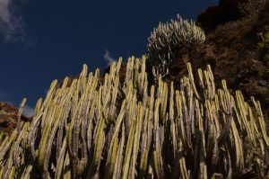 Cactus (Euphorbia canariensis) sur le sentier du Sémaphore à Igueste de San Andres<br> Parc Macizo de Anaga<br> Île de Tenerife (Islas Canarias)
