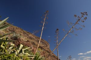 Agave à Igueste de San Andres<br> Parc Macizo de Anaga<br> Île de Tenerife (Islas Canarias)