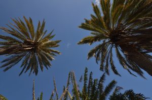 Palmier à Igueste de San Andres<br> Parc Macizo de Anaga<br> Île de Tenerife (Islas Canarias)