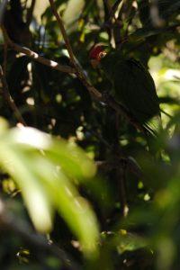 Perroquet à Igueste de San Andrés<br> Parc Macizo de Anaga<br> Île de Tenerife (Islas Canarias)