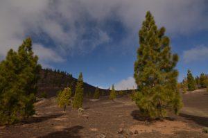 Pin des Canaries (Pinus canariensis) sur le sentier de las Montanas Samara &amp; Reventada<br> Parc national du Teide<br> Île de Tenerife (Islas Canarias)