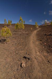 Pin des Canaries (Pinus canariensis) &amp; Teide sur le sentier de las Montanas Samara &amp; Reventada<br> Parc national du Teide<br> Île de Tenerife (Islas Canarias)