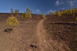 Pin des Canaries (Pinus canariensis), Teide &amp; Pico viejo sur le sentier de las Montanas Samara &amp; Reventada<br> Parc national du Teide<br> Île de Tenerife (Islas Canarias)