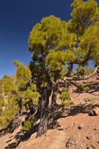 Pin des Canaries (Pinus canariensis) sur le sentier du Sombrero de Chasna<br> Parc national du Teide<br> Île de Tenerife (Islas Canarias)