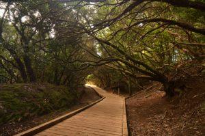 Forêt primaire de lauriers sauvages près du point de vue de Cruz de Carmen<br> Parc Macizo de Anaga<br> Île de Tenerife