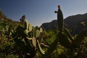 Le Figuier de Barbarie (Opuntia ficus-indica) sur le sentier de Chamorga au Phare de Anaga<br> Parc Macizo de Anaga<br> Île de Tenerife (Islas Canarias)