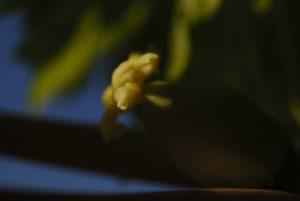 Fleur du Papayer (Carica papaya)<br> El Rincon<br> Île de Tenerife (Islas Canarias)