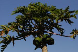Papayer (Carica papaya) et ses fruits<br> El Rincon<br> Île de Tenerife (Islas Canarias)