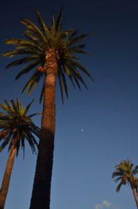 Palmier des Canaries (Phoenix canariensis)<br> Le village de La Orotava<br> Île de Tenerife (Islas Canarias)