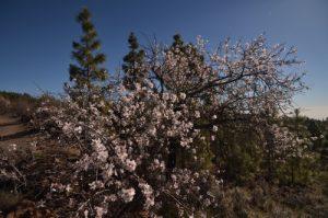 Arbre en fleur sur le sentier de Paysaje Lunar<br> Île de Tenerife (Islas Canarias)